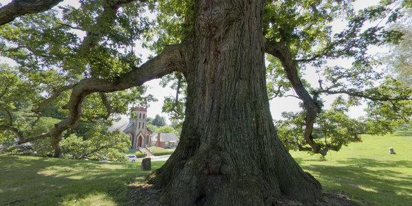 White Oak of Logan